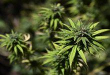 Photo of El Salvador entre países que aprobaron eliminar la marihuana de las drogas peligrosas
